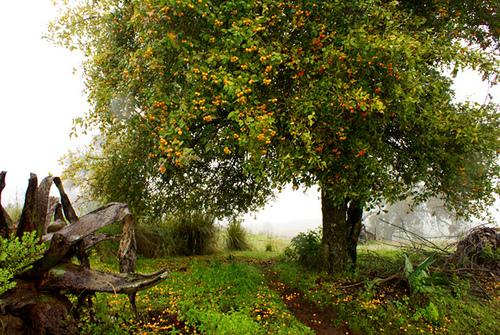 Árbol del tejocote