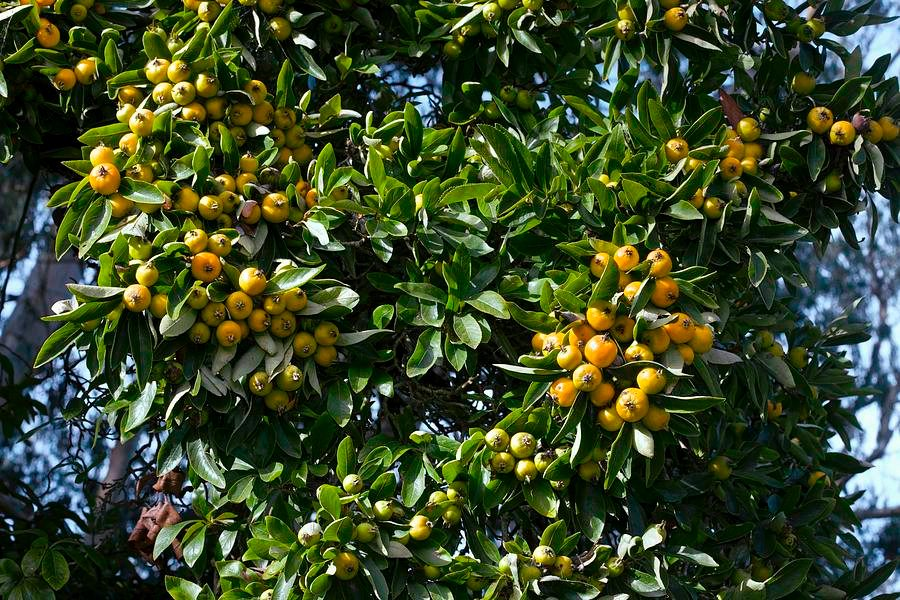 Hojas y fruto árbol tejocote