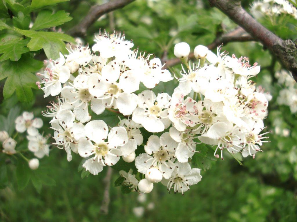 Flor del tejocote