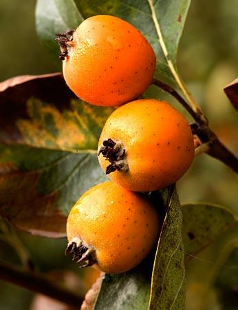Fruta del tejocote