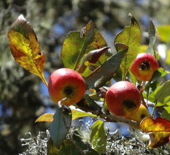 El tejocote beneficios y propiedades enciclopedia for Significado de la palabra arbol